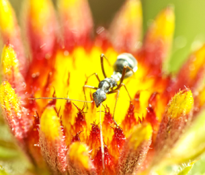Honey-Pot-Ant-InAn-0006