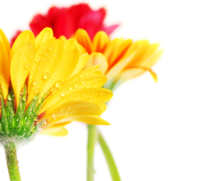 Several_colorful_gerbera_flowers_with_dew_drops_isolated_on_white_background